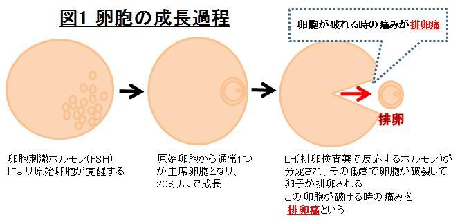 痛 子作り 排卵